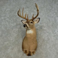 Whitetail Deer Shoulder Mount For Sale #16665 @ The Taxidermy Store