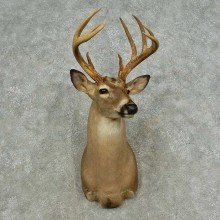 Whitetail Deer Shoulder Mount For Sale #16706 @ The Taxidermy Store