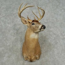 Whitetail Deer Shoulder Mount For Sale #16708 @ The Taxidermy Store