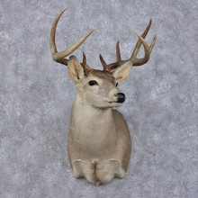 Whitetail Deer Shoulder Taxidermy Head Mount #12497 For Sale @ The Taxidermy Store