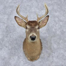 Whitetail Deer Shoulder Taxidermy Mount #12526 For Sale @ The Taxidermy Store