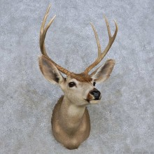 Whitetail Deer Shoulder Mount For Sale #14312 @ The Taxidermy Store