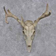 Whitetail Deer Taxidermy Skull & Antler European Mount #12457 For Sale @ The Taxidermy Store