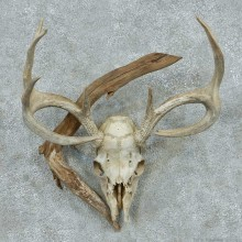 Whitetail Deer Skull & Antler European Mount #13760 For Sale @ The Taxidermy Store