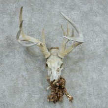 Whitetail Deer Skull & Antler European Mount #13761 For Sale @ The Taxidermy Store