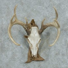 Whitetail Deer Skull & Antler European Mount #13765 For Sale @ The Taxidermy Store
