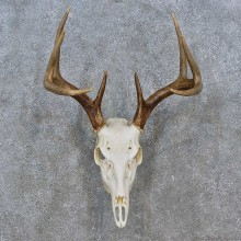 Whitetail Deer Skull Antler European Mount For Sale #15238 @ The Taxidermy Store