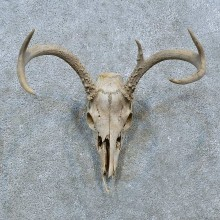 Whitetail Deer Skull Antler European Mount For Sale #15366 @ The Taxidermy Store