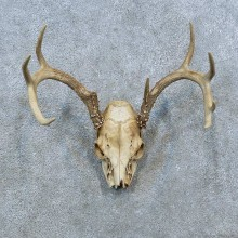 Whitetail Deer Skull Antler European Mount For Sale #15367 @ The Taxidermy Store