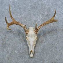 Whitetail Deer Skull Antler European Mount For Sale #15374 @ The Taxidermy Store