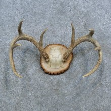 Whitetail Deer Antler Plaque Mount For Sale #15380 @ The Taxidermy StoreWhitetail Deer Antler Plaque Mount For Sale #15380 @ The Taxidermy Store