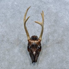 Whitetail Deer Skull Antler European Mount For Sale #15381 @ The Taxidermy Store