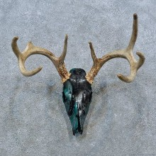 Whitetail Deer Skull Antler European Mount For Sale #15382 @ The Taxidermy Store