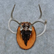 Whitetail Deer Skull Antler European Mount For Sale #15383 @ The Taxidermy Store