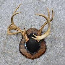 Whitetail Deer Antler Plaque Mount For Sale #15772 @ The Taxidermy Store