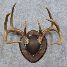 Whitetail Deer Antler Plaque Mount For Sale #15778 @ The Taxidermy Store