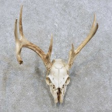 Whitetail Deer Skull European Mount For Sale #15824 @ The Taxidermy Store