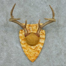 Whitetail Deer Antler Plaque Mount #13684 For Sale @ The Taxidermy Store