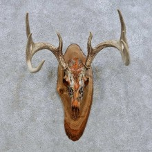Whitetail Deer Skull European Mount For Sale #14644 @ The Taxidermy Store