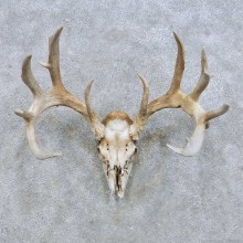 Whitetail Deer Skull European Mount For Sale #14659 @ The Taxidermy Store