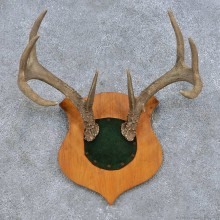 Whitetail Deer Antler Plaque Mount For Sale #14661 @ The Taxidermy Store