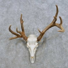 Whitetail Deer Skull European Mount For Sale #14903 @ The Taxidermy Store