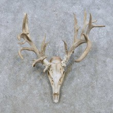 Whitetail Deer Skull European Mount For Sale #14933 @ The Taxidermy Store