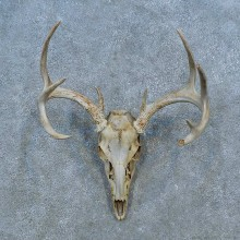 Whitetail Deer Skull Antler European Mount For Sale #15514 @ The Taxidermy Store