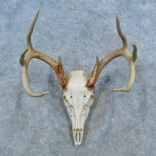 Whitetail Deer Skull Antler European Mount For Sale #15521 @ The Taxidermy Store