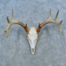 Whitetail Deer Skull Antler European Mount For Sale #15523 @ The Taxidermy Store