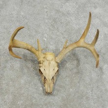 Whitetail Deer Skull European Mount For Sale #15931 @ The Taxidermy Store