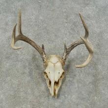 Whitetail Deer Skull European Mount For Sale #16244 @ The Taxidermy Store