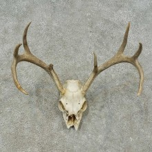Whitetail Deer Skull European Mount For Sale #16252 @ The Taxidermy Store