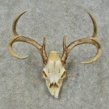 Whitetail Deer Skull European Mount For Sale #16268 @ The Taxidermy Store