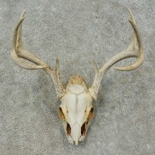 Whitetail Deer Skull European Mount For Sale #16269 @ The Taxidermy Store