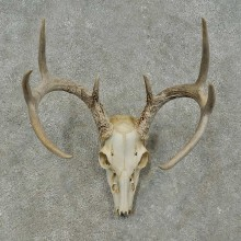 Whitetail Deer Skull European Mount For Sale #16270 @ The Taxidermy Store