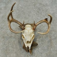 Whitetail Deer Skull European Mount For Sale #16272 @ The Taxidermy Store