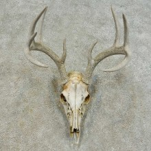 Whitetail Deer Skull European Mount For Sale #16290 @ The Taxidermy Store