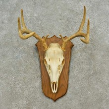 Whitetail Deer Skull European Mount For Sale #16588 @ The Taxidermy Store