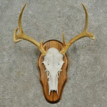 Whitetail Deer Skull European Mount For Sale #16590 @ The Taxidermy Store