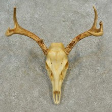 Whitetail Deer Skull European Mount For Sale #16597 @ The Taxidermy Store