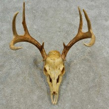 Whitetail Deer Skull European Mount For Sale #16598 @ The Taxidermy Store