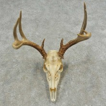 Whitetail Deer Skull European Mount For Sale #16633 @ The Taxidermy Store