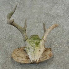 Whitetail Deer Skull & Antler Rustic Mount For Sale #16729 @ The Taxidermy Store