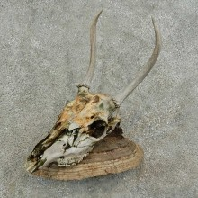 Whitetail Deer Skull & Antler Rustic Mount For Sale #16741 @ The Taxidermy Store