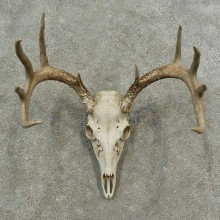 Whitetail Deer Skull European Mount For Sale #16885 @ The Taxidermy Store