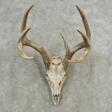 Whitetail Deer Skull European Mount For Sale #16894 @ The Taxidermy Store