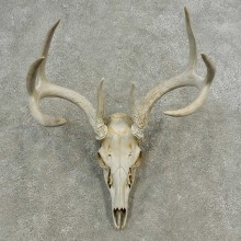 Whitetail Deer Skull European Mount For Sale #16895 @ The Taxidermy Store