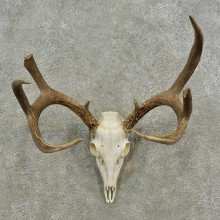 Whitetail Deer Skull European Mount For Sale #16932 @ The Taxidermy Store