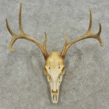 Whitetail Deer Skull European Mount For Sale #16961 @ The Taxidermy Store